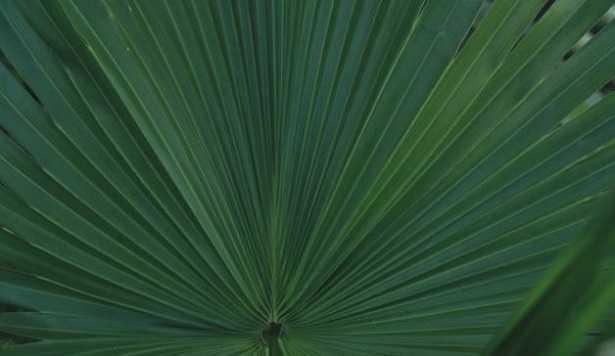 Palma Areca: pianta