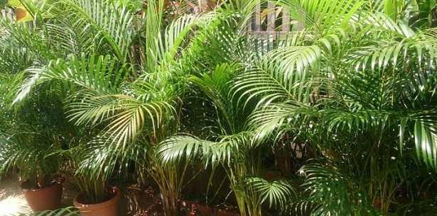 Palma Areca: prezzo