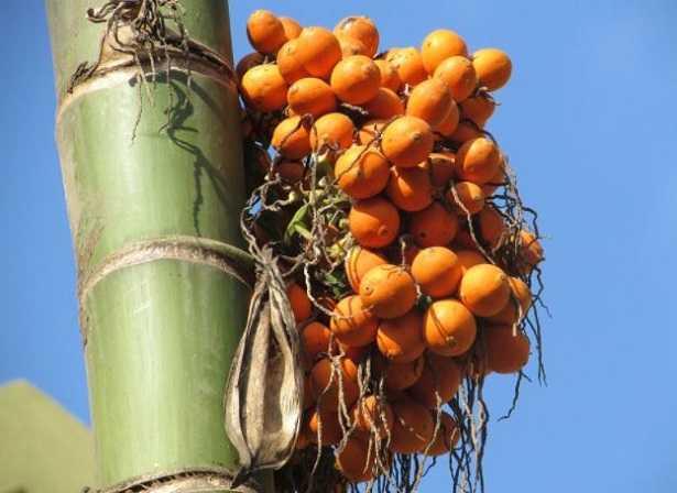 Palma Areca o dai frutti d'oro