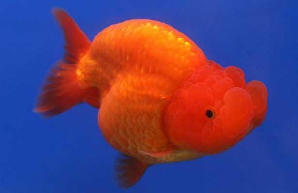 Pesce rosso testa di leone: vendita