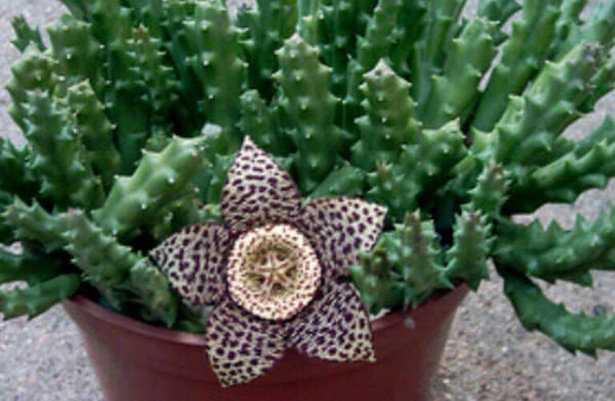 pianta con fiore a stella