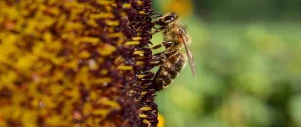 Raccolta del polline: api
