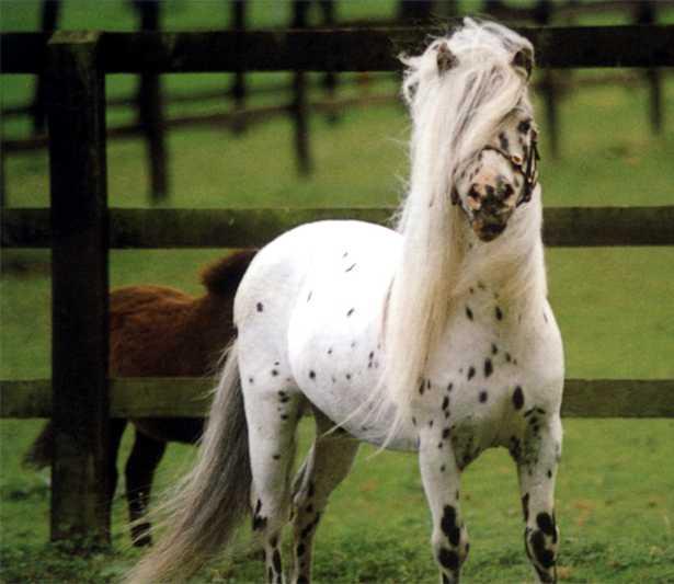 razza cavallo nano