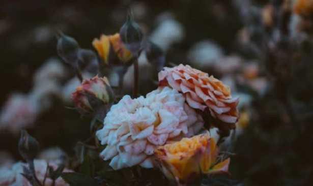 Rose da siepe basse