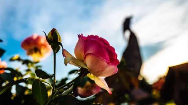 Rose da siepe Stromboli