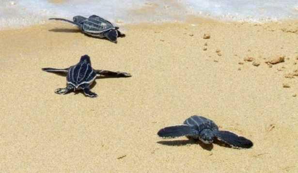 Tartaruga liuto: immagini