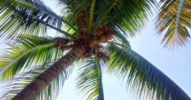 Tronco di palma: caratteristiche
