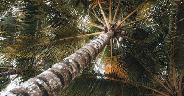 Varietà di palme: foto