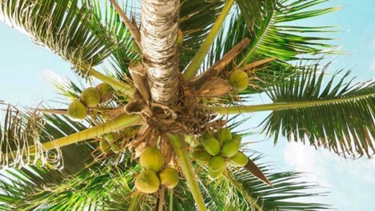 Palme Da Vaso Per Esterno varietà di palme da giardino - idee green