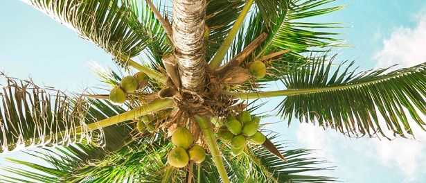 Varietà di palme da giardino