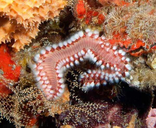 vermocane pericoloso acquario marino