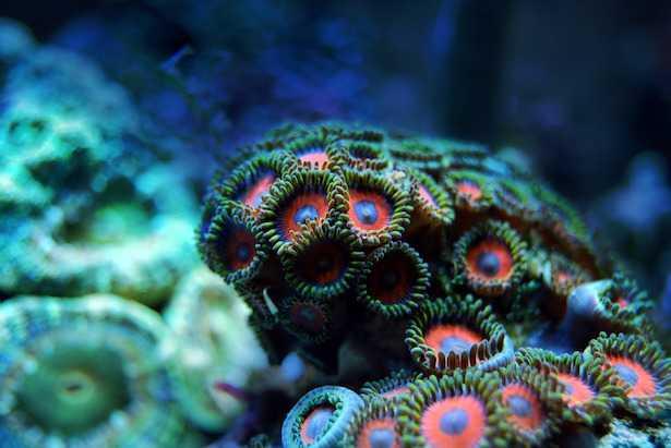 alghe dinoflagellate in acquario