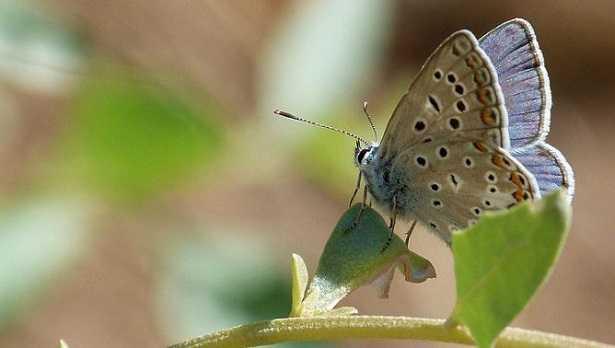 Farfalla più rara d'Italia