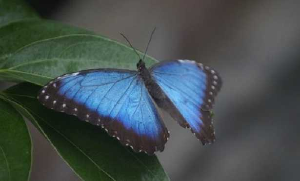 Farfalle più rara del mondo