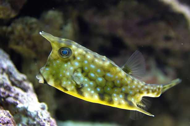 Lactoria cornuta o pesce scatola
