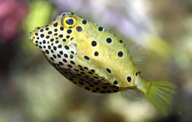 Ostracion Cubicus pesce scatola giallo