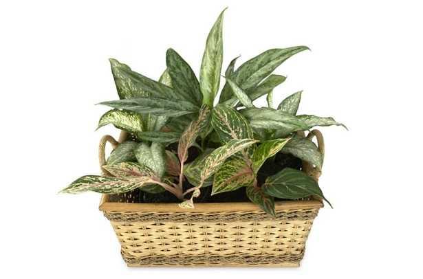 Aglaonema: pianta del buio