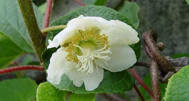 Fiore ermafrodita: immagini
