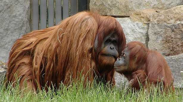 Oranghi del Borneo: caratteristiche