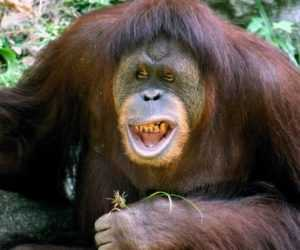 Oranghi del Borneo in 3D