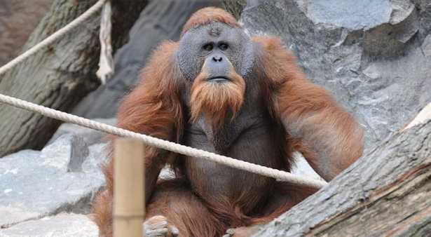 Oranghi del Borneo: tatoo