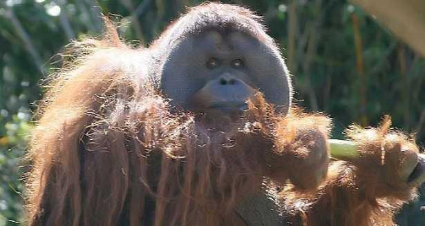 Oranghi del Borneo