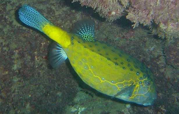 pesce scatola giallo