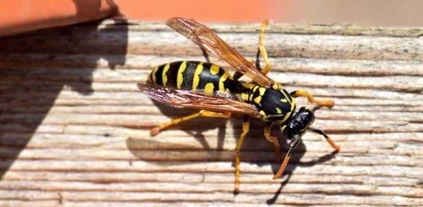Repellente naturale per vespe