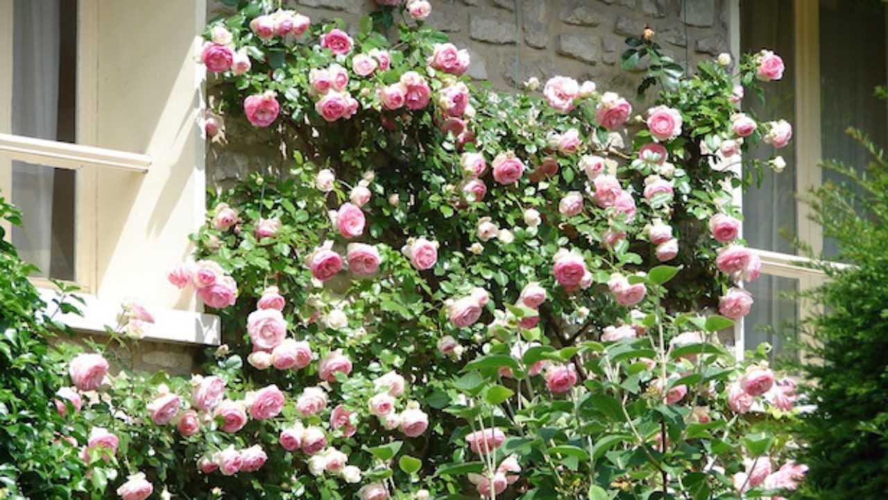 Tutori Per Rose Rampicanti rose rampicanti in vaso - idee green