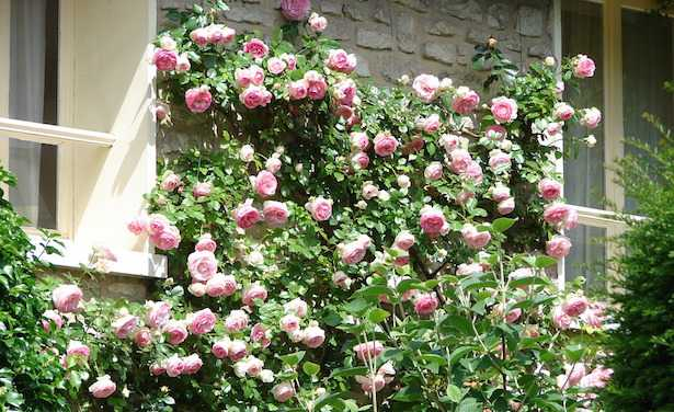 rose rampicanti in vaso
