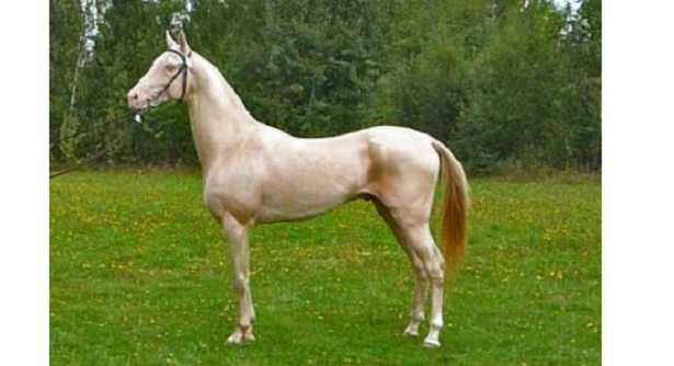 Cavallo dorato prezzo