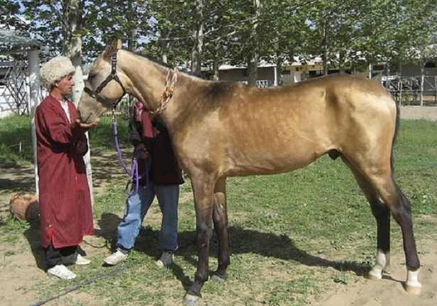 Cavallo dorato Sauro