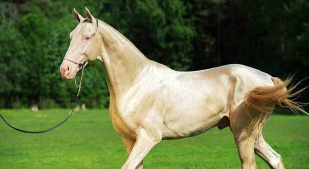 Cavallo dorato