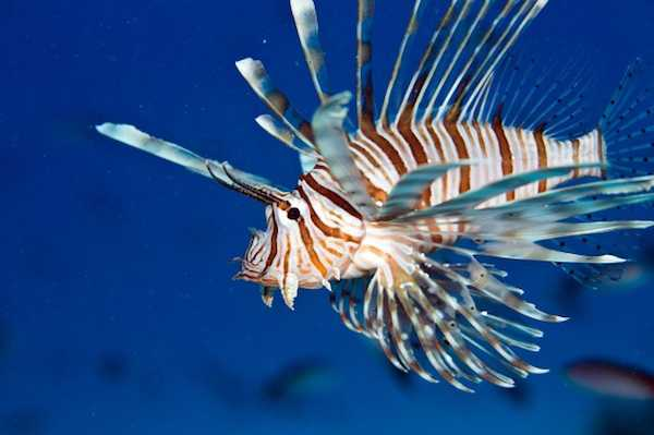 Pesce scorpione in acquario