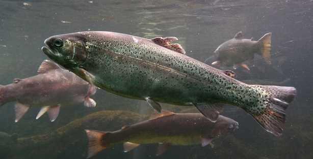 Pesci d 39 acqua dolce commestibili idee green for Pesci acqua dolce