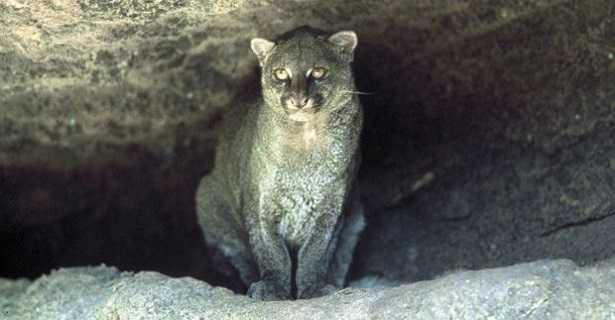 Puma Yaguarondi felino