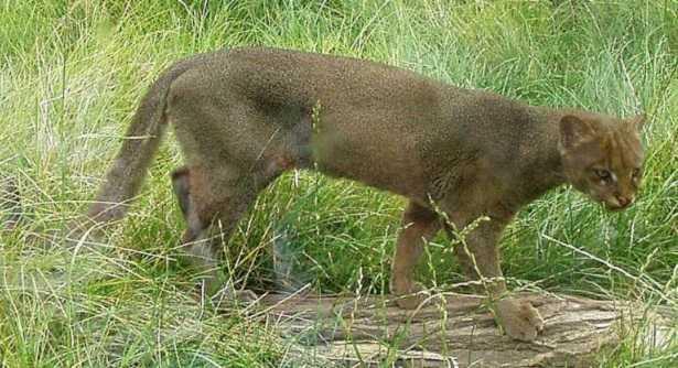 Puma Yaguarondi: caratteristiche