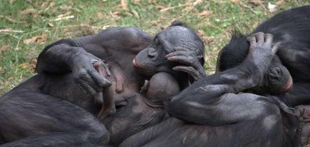 Scimmia Bonobo