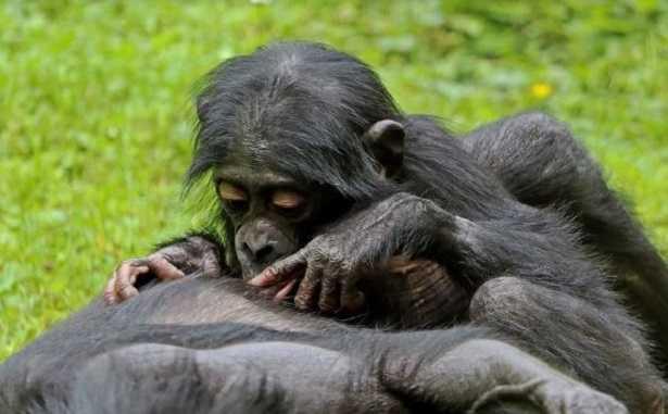 Scimmia Bonobo: riproduzione
