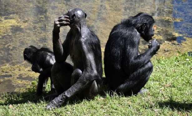 Scimmia Bonobo a rischio