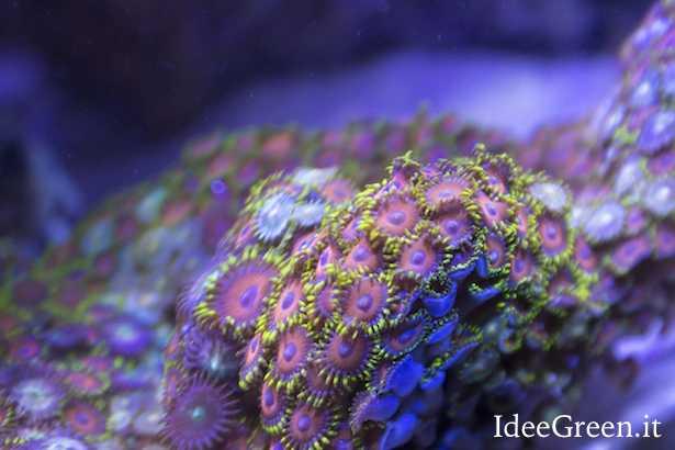 coralli molli facili