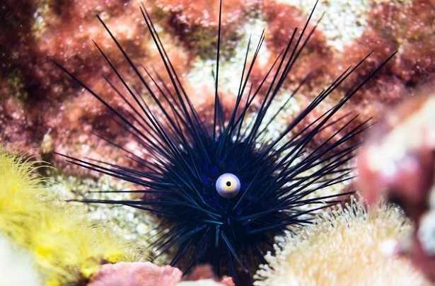 Echinodermi immagini