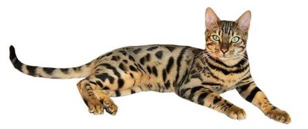 Gatti rari e costosi