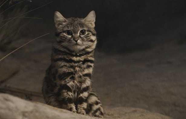 Gatto più raro del mondo