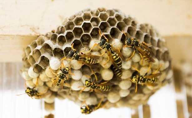 Nido di vespe: chi chiamare