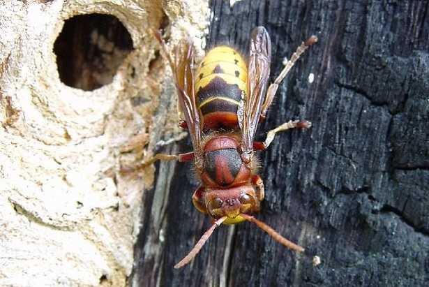 Nido di vespe sotto terra