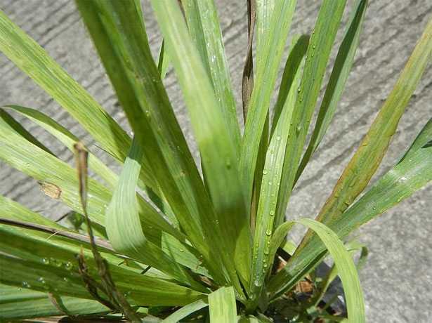 piante antizanzare citronella