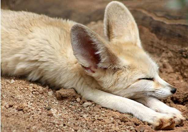 Volpe del deserto: animale
