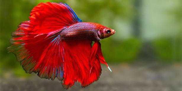 Betta splendens, pesce combattente