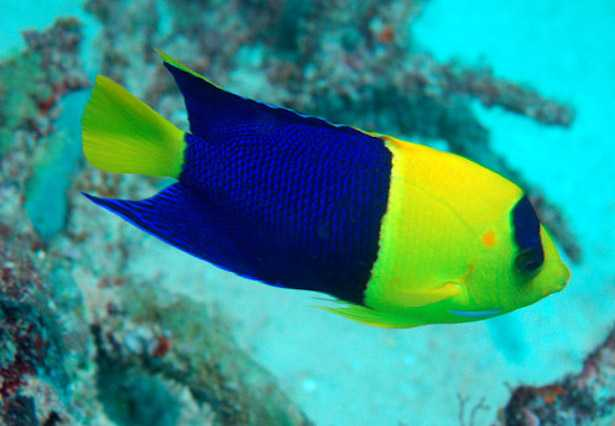 Centropyge bicolor pesce angelo